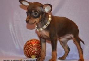 Satılık Russian Toy Terrier Yavruları