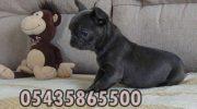 Satılık Blue Fransız Bulldog Yavru