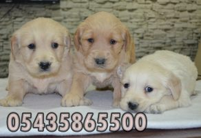 golden retriever fiyatları pet shop