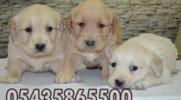 golden retriever fiyatları pet shop