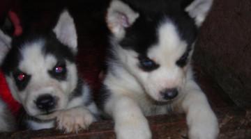 Safkan Sibirya Kurdu Husky Yavruları