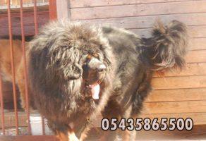 Tibet Mastifi – Tibetan Mastiff
