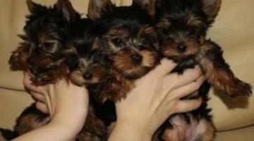 Sıfır Numara Yorkshire Terrier Yavruları